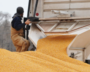 Man Unloading Corn from a Truck